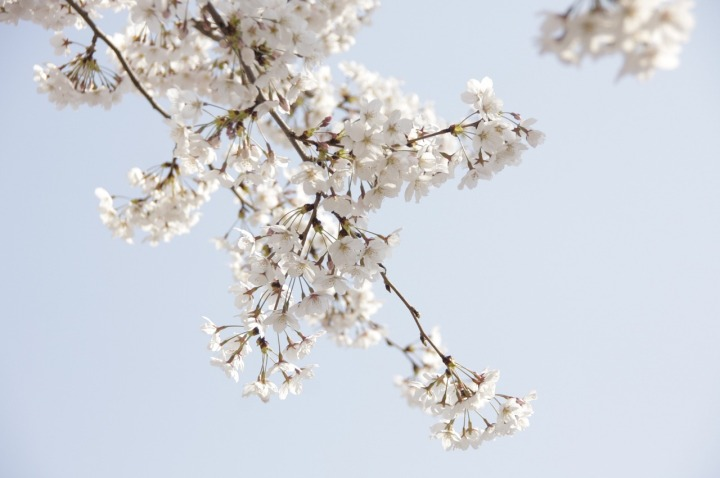 cherry-blossom-1558931_1280